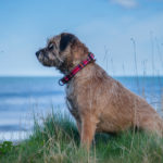 Border Terrier, Small Dog with a Big Heart